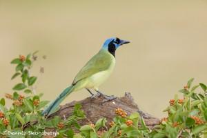 5049 Green Jay (Cyanocorax yncas), South Texas