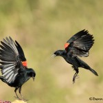 5051 Red-winged Blackbirds (Agelaius phoeniceus), South Texas