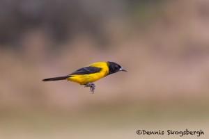 5052 Audubon's Oriole (Icterus graduacauda), South Texas