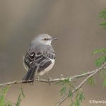 5053 Northern Mockingbird, (Mimus polyglottos), South Texas