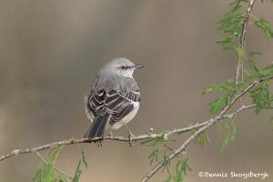 5053 Northern Mockingbird, (Mimus polyglottos), South Texas