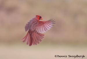 5054 Male Northern Cardinal (Cardinalis cardinalis), South Texas