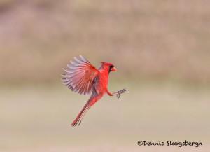 5055 Male Northern Cardinal (Cardinalis cardinalis), South Texas