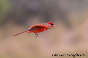 5056 Male Northern Cardinal (Cardinalis cardinalis), South Texas