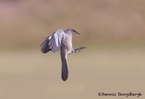 5057 Northern Mockingbird, (Mimus polyglottos), South Texas