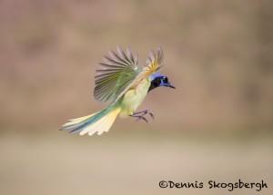5060 Green Jay (Cyanocorax yncas), South Texas
