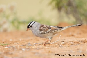 5061 White-crowned Sparrow (Zonotrichia leucophrys), South Texas