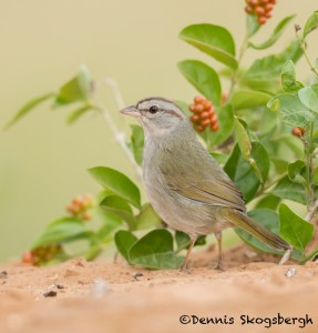 5062 Olive Sparrow (Arremonops rufivirgatus), South Texas