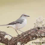 5063 Northern Mockingbird, (Mimus polyglottos), South Texas