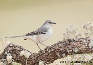 5063 Northern Mockingbird, (Mimus polyglottos), South Texas