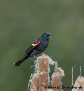 5065 Red-winged Blackbird (Agelaius phoeniceus), South Texas