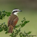 5067 Great Kiskadee (Pitangus sulphuratus), South Texas