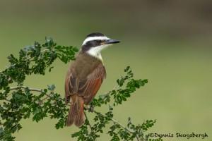 5067 Great Kiskadee (Pitangus sulphuratus), South Texas