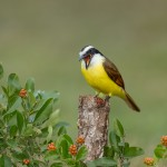 5068 Great Kiskadee (Pitangus sulphuratus), South Texas