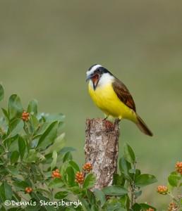 5068 Great Kiskadee (Pitangus sulphuratus), South Texas