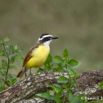 5069 Great Kiskadee (Pitangus sulphuratus), South Texas