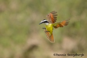 5074 Great Kiskadee (Pitangus sulphuratus), South Texas