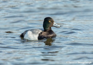 5141 Lesser Scaup (Aythya affinis), Texas
