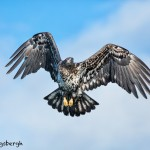 5182 Juvenile Bald Eagle, Homer, Alaska