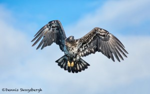 5182 Juvenile Bald Eagle, Homer, Alaska