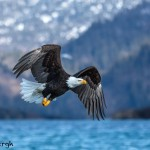 5183 Bald Eagle, Homer, Alaska