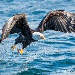 5185 Bald Eagle, Homer, Alaska