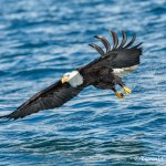 5186 Bald Eagle, Homer, Alaska