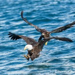 5188 Bald Eagles, Homer, Alaska