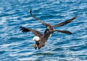 5188 Bald Eagles, Homer, Alaska