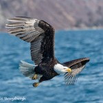 5189 Bald Eagle, Homer, Alaska