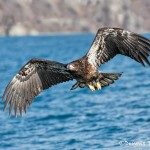 5190 Immature Bald Eagle, Homer, Alaska