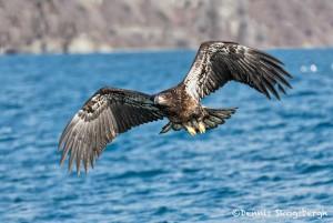 5190 Immature Bald Eagle, Homer, Alaska
