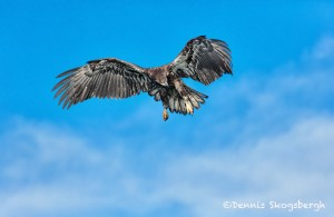 5193 Juvenile Bald Eagle, Homer, Alaska
