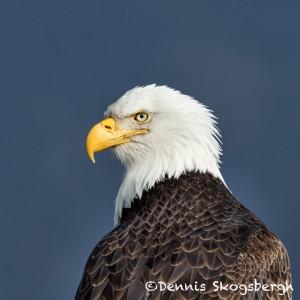 5197 Bald Eagle, Homer, Alaska