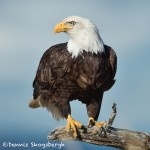 5199 Bald Eagle, Homer, Alaska