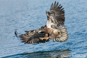 5202 Juvenile Bald Eagle, Homer, Alaska