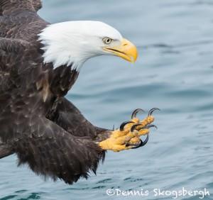 5205 Bald Eagle, Talons, Homer, Alaska