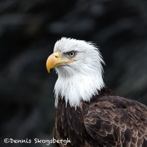 5208 Bald Eagle, Homer, Alaska