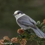 5209 Gray Jay (Perisoreus canadensis), Homer, Alaska