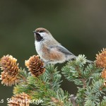 5213 Boreal Chickadee (Poecile hudsonicus), Alaska