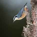 5216 Red-breasted Nuthatch (Sitta canadensis), Alaska