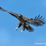 5225 Juvenile Bald Eagle, Homer, Alaska