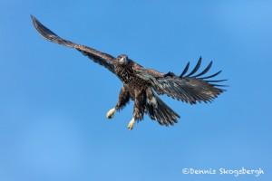 5225 Juvenile Bald Eagle, Homer, Alaska