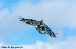 5228 Juvenile Bald Eagle, Homer, Alaska
