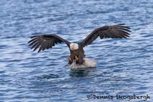 5234 Bald Eagle, Homer, Alaska