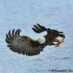5235 Bald Eagle, Homer, Alaska