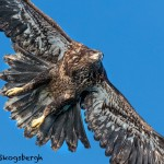5236 Juvenile Bald Eagle, Homer, Alaska