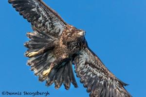 5236 Juvenile Bald Eagle, Homer, Alaska