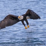 5242 Bald Eagle, Homer, Alaska