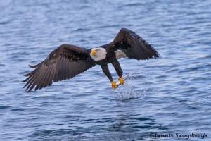 5242 Bald Eagle, Homer, Alaska